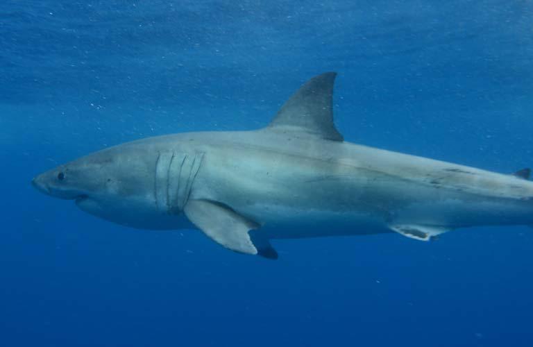 Great White Shark Haitauchen (Shark Cage Diving) in Australien