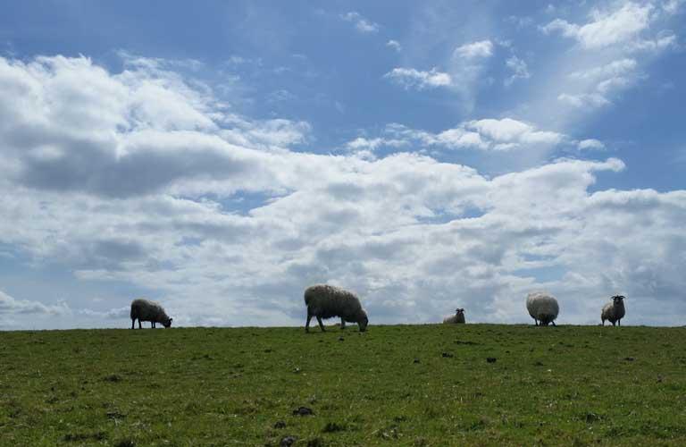 West Highland Way Schottland Schafe