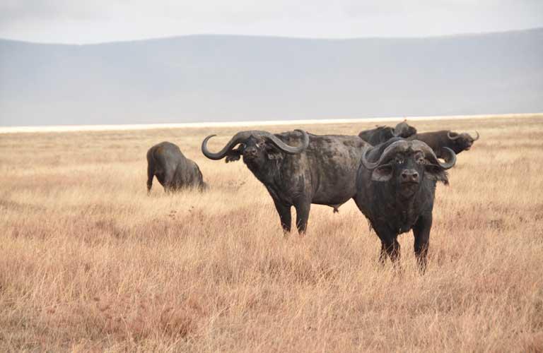 Afrikas Top 10 der gefährlichsten Tiere Afrikanischer Büffel