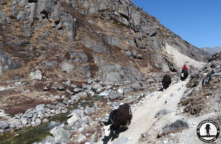 Yaks Nak Nepal Hochland