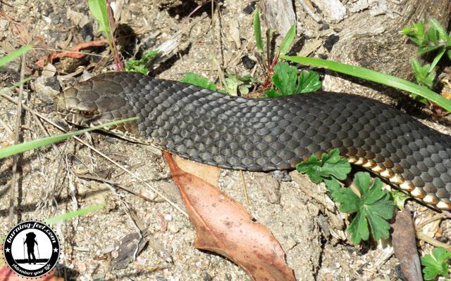 schlangen tasmanien